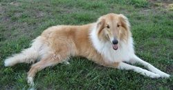 Learn About The Different Types Of Collies Collie Collie