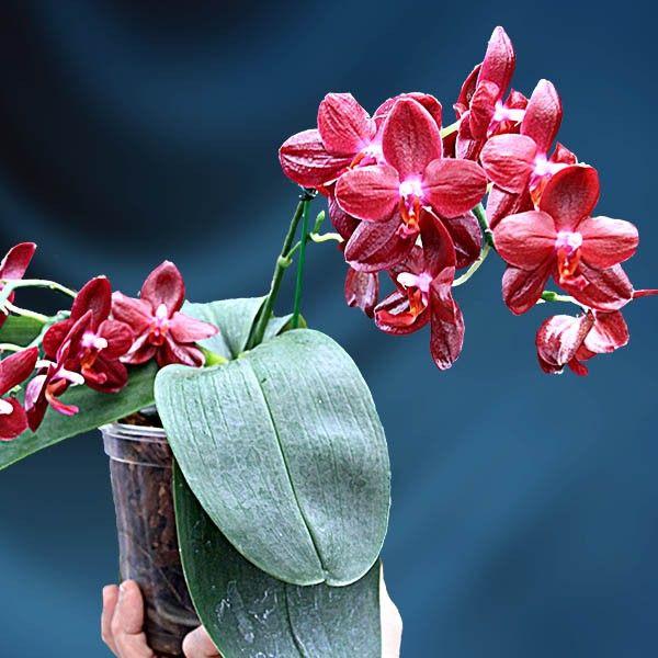 Moth Orchid Sogo Grape 'Fireball' HCC/AOS (Phalaenopsis hybrid) - Indoor and Windowsill Plants - Indoor