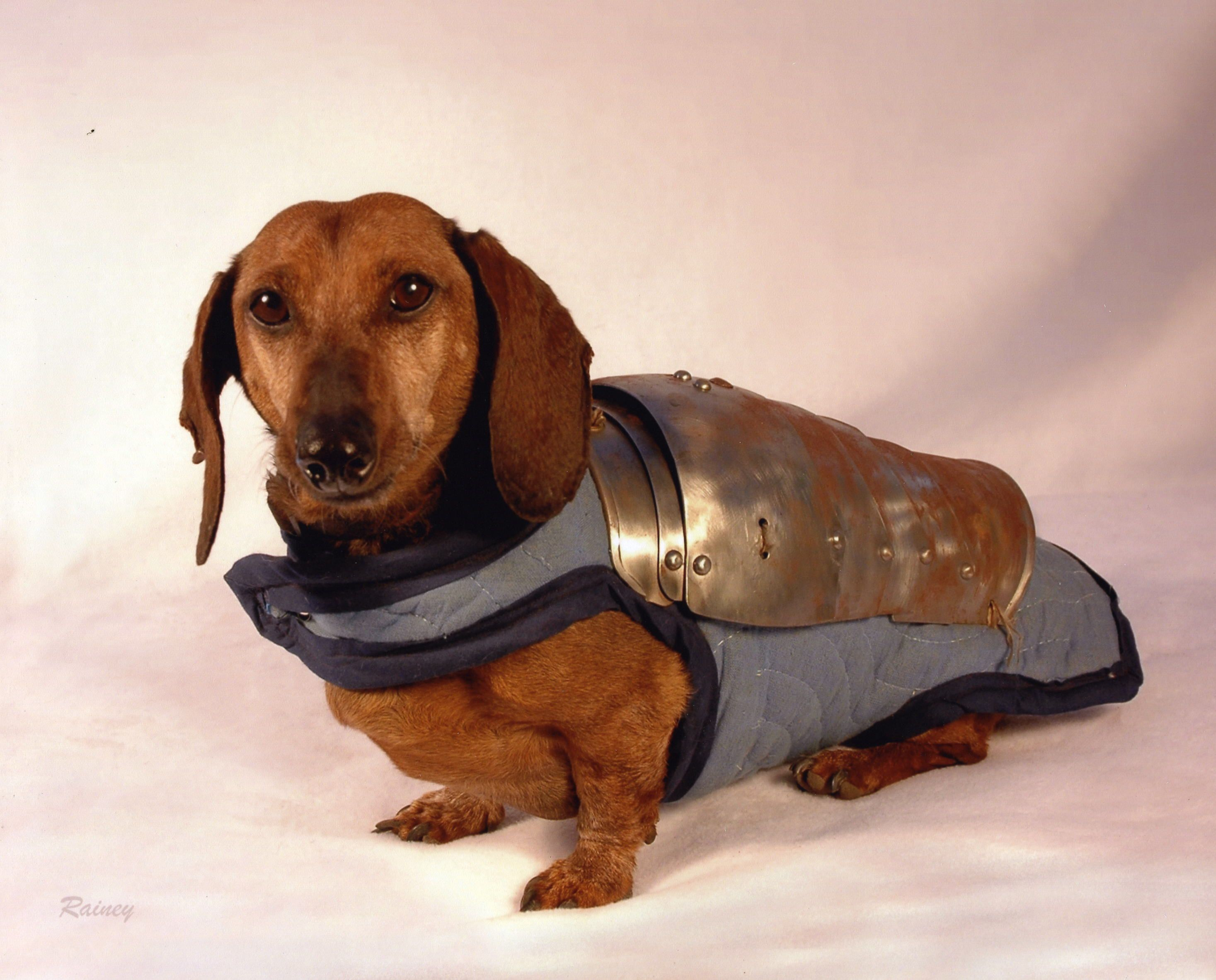 Armored Hot Dog Dachshund Animals Dogs
