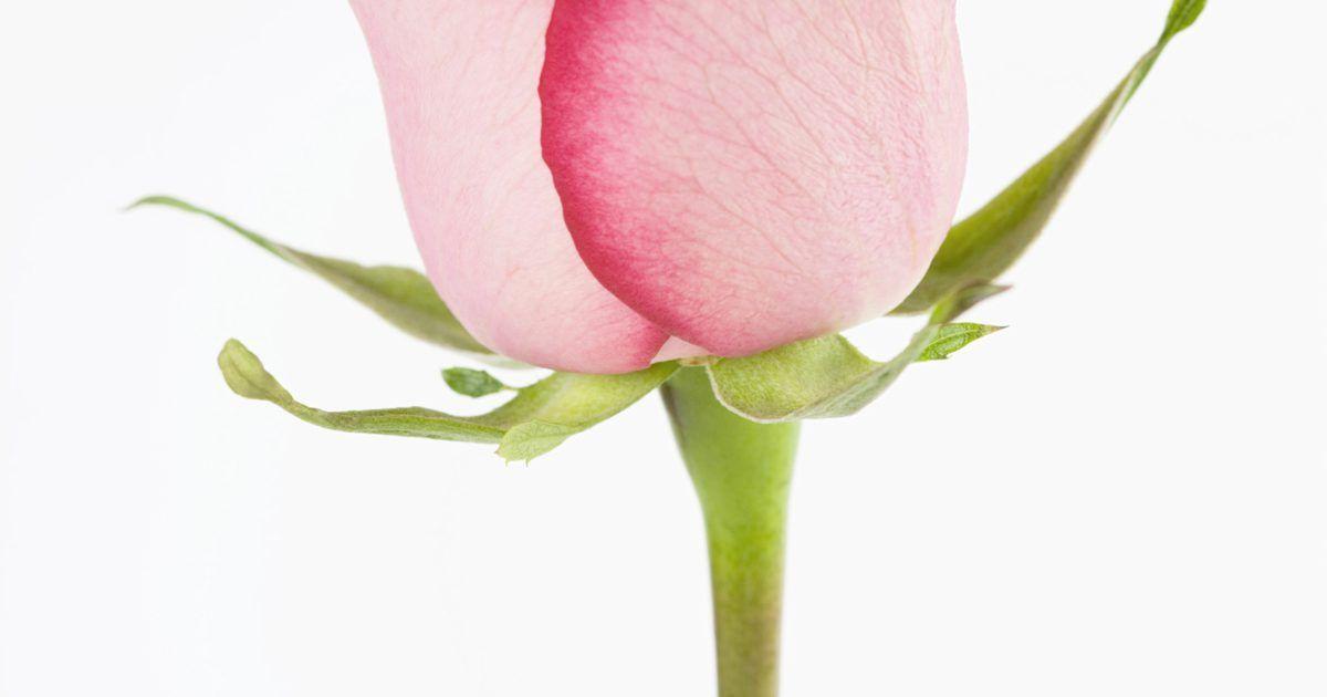 cuanto tiempo dura una rosa en agua