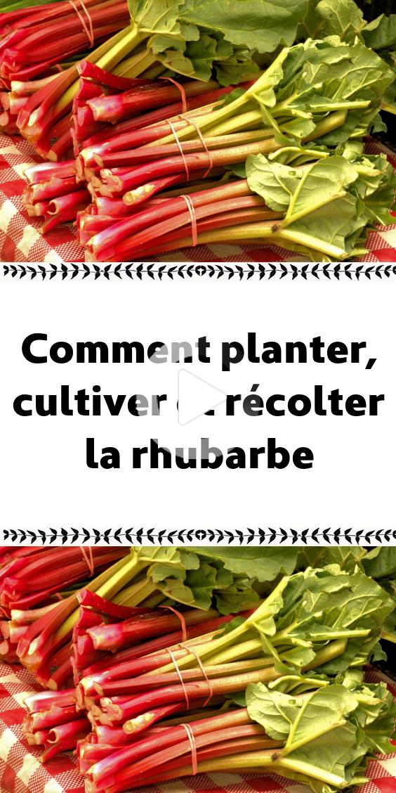 Comment planter cultiver et récolter la rhubarbe en 2020