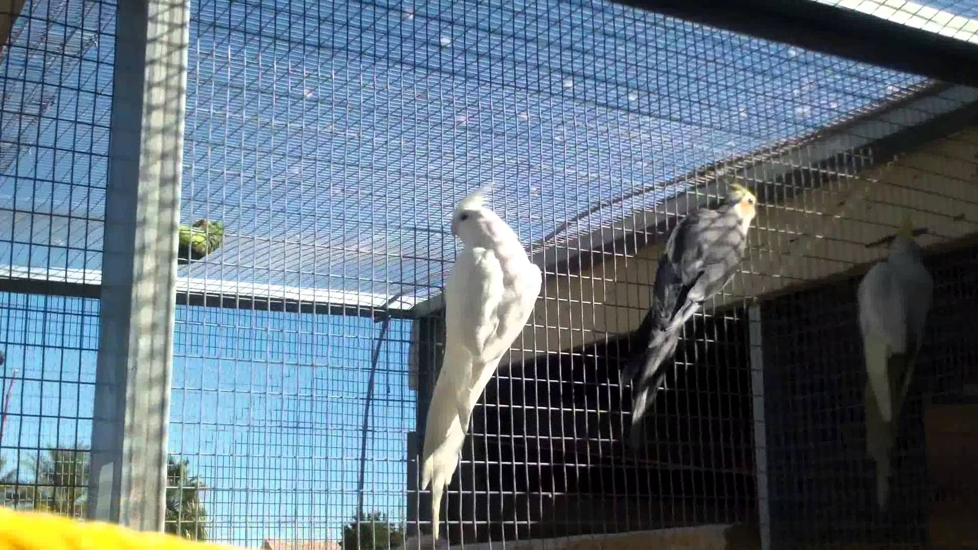 Big Outdoor Cockatiel Flight Cage Aviary Right Now There