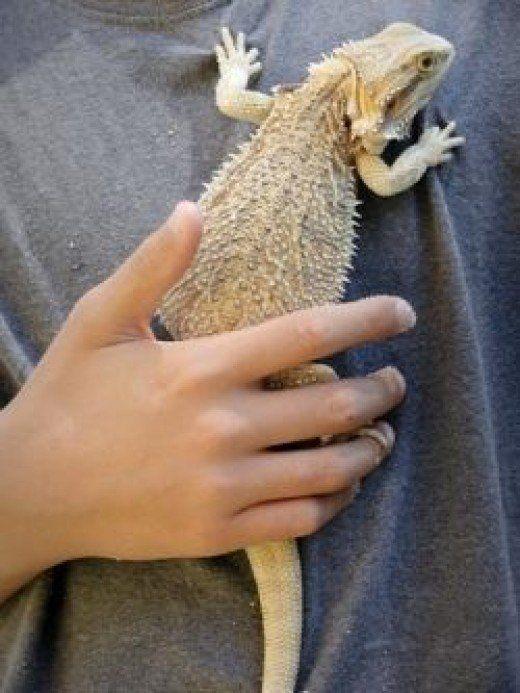 Bearded Dragon Care 101 A Beginner S Guide Bearded Dragon Bearded Dragon Care Baby Bearded Dragon