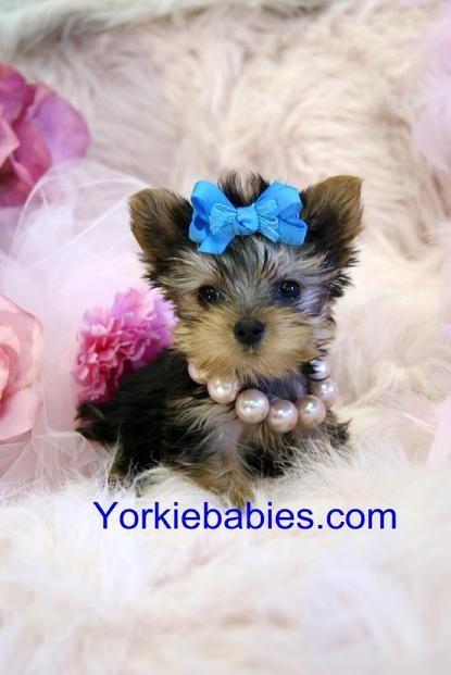 Www Yorkie Babies Visit Yorkiebabies Com Yorkie Puppy Yorkie