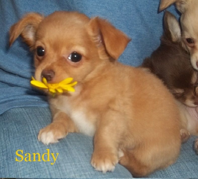 Long Haired Chihuahua Puppies Long Hair Chihuahua Puppies For