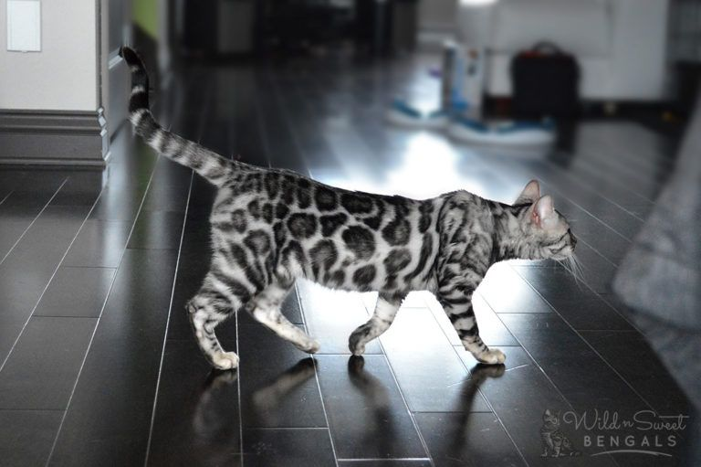 Silver Bengal Cats Kittens For Sale Bengal Kitten Silver Bengal Cat Bengal Kittens For Sale