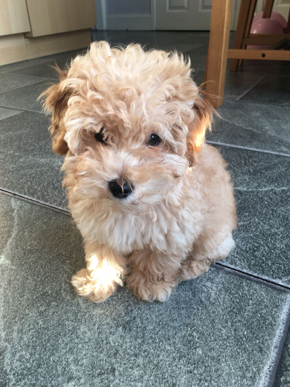 Jackapoo Puppy Poodle Mix