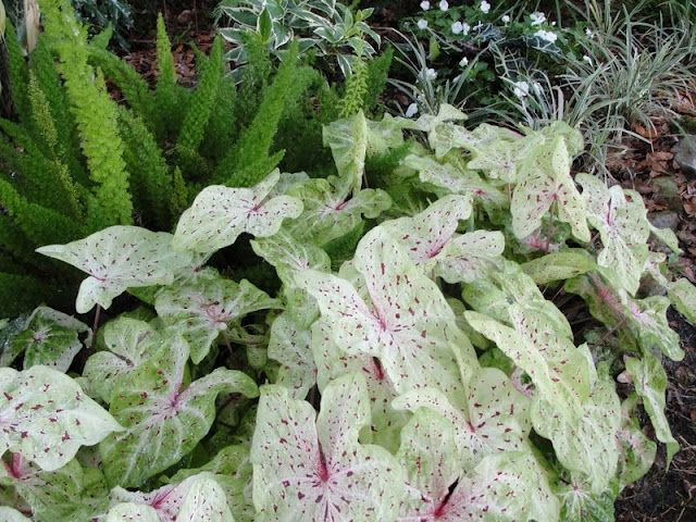 Really Like Pretty Plants White Gardens Shade Plants