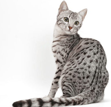 Egyptian Mau Cat Rare Cat Breeds Cat Breeds Egyptian Cat Breeds