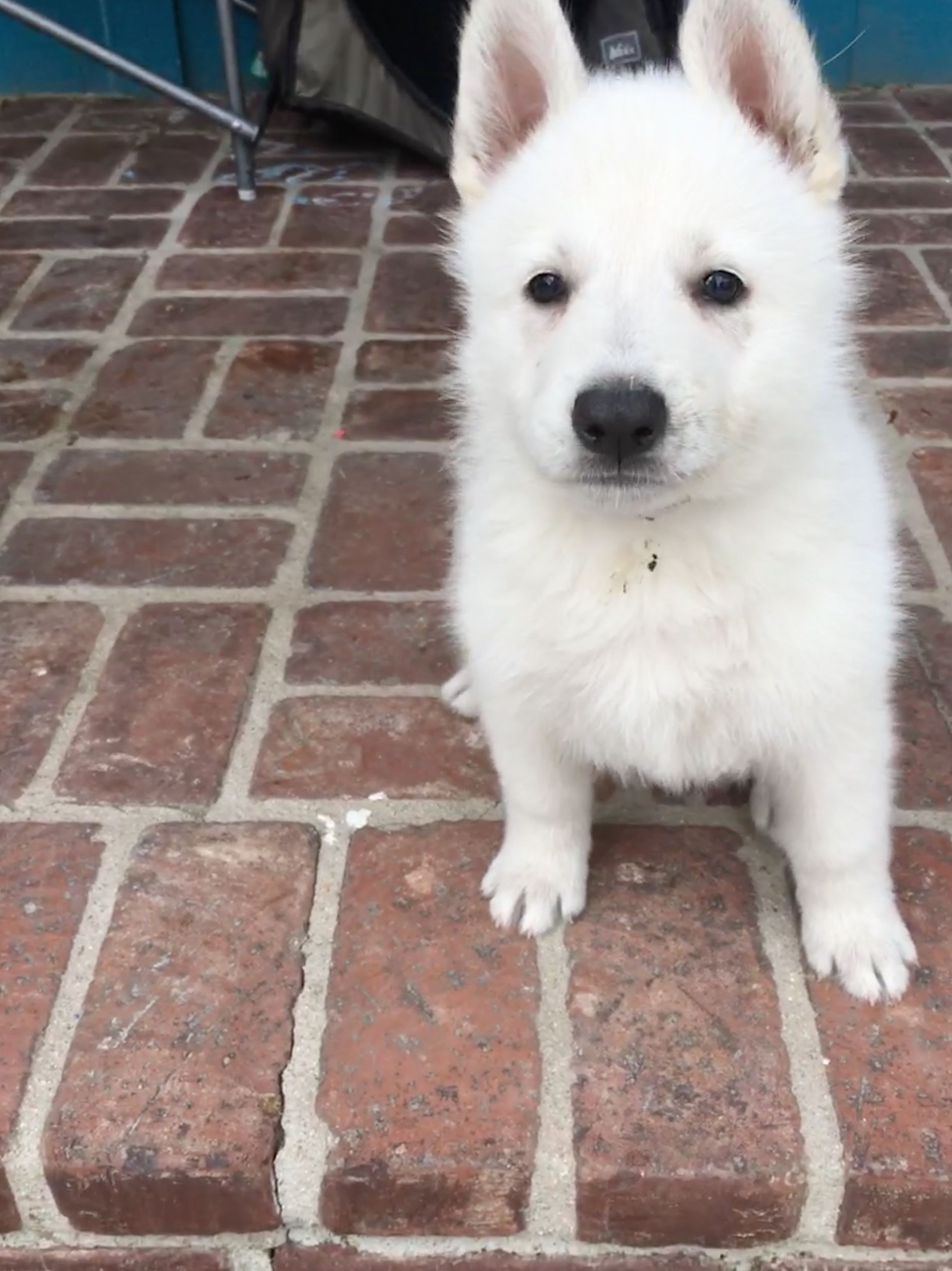 Purple Girl A Female Ukc White Shepherd Puppy For Sale In California Find Cute White Shepherd Puppies And Responsi Puppies Shepherd Puppies Pet Dogs Puppies