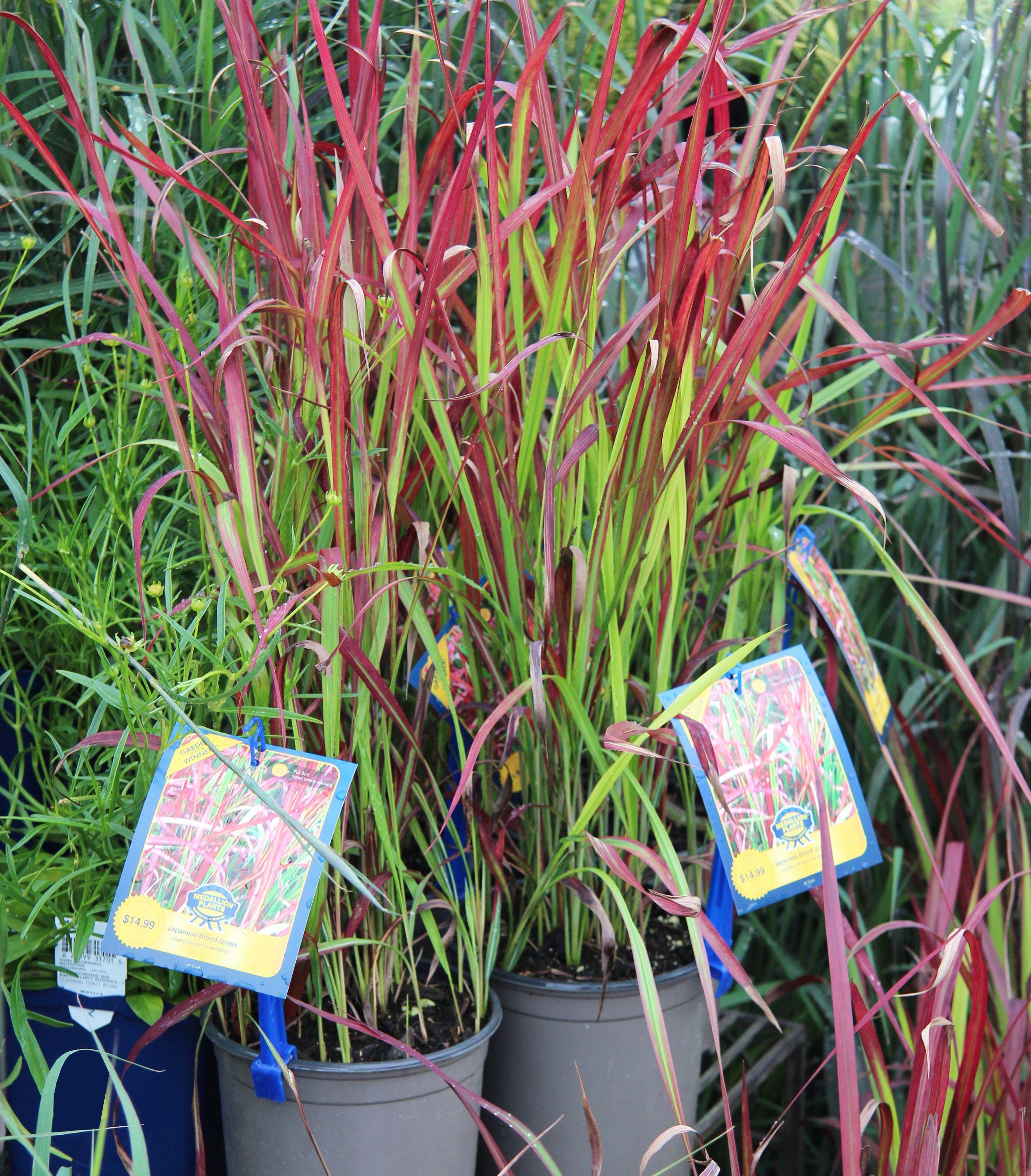 Perennial Japanese Blood Grass Growing herbs indoors