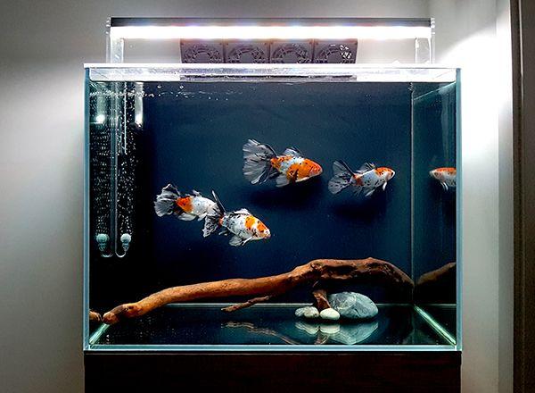 60 181220 Bristol Shubunkin Ikan Akuarium Akuarium Ikan