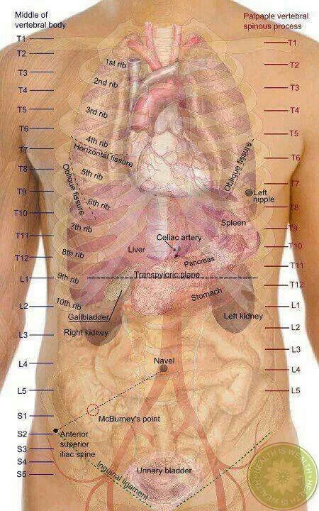 Look Inside Anatomy Visuals Pinterest