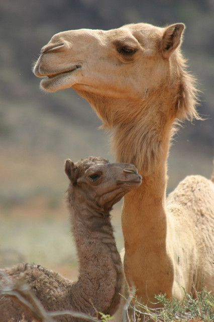 Mom and baby camel | Mother and baby camel resting in the de… | Flickr