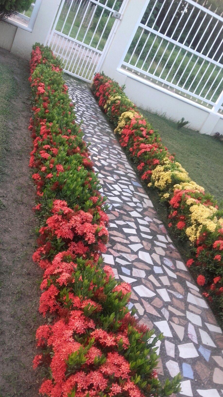 Camino de ixoras en mi jardin themes dreams - Plantas jardineras exterior ...