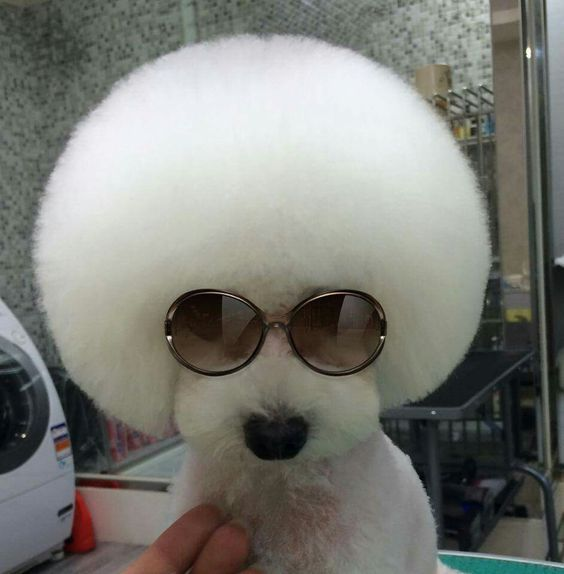 Yeah Baby My Hairdo Is The Bomb Bichon Frise Pinterest Poodle