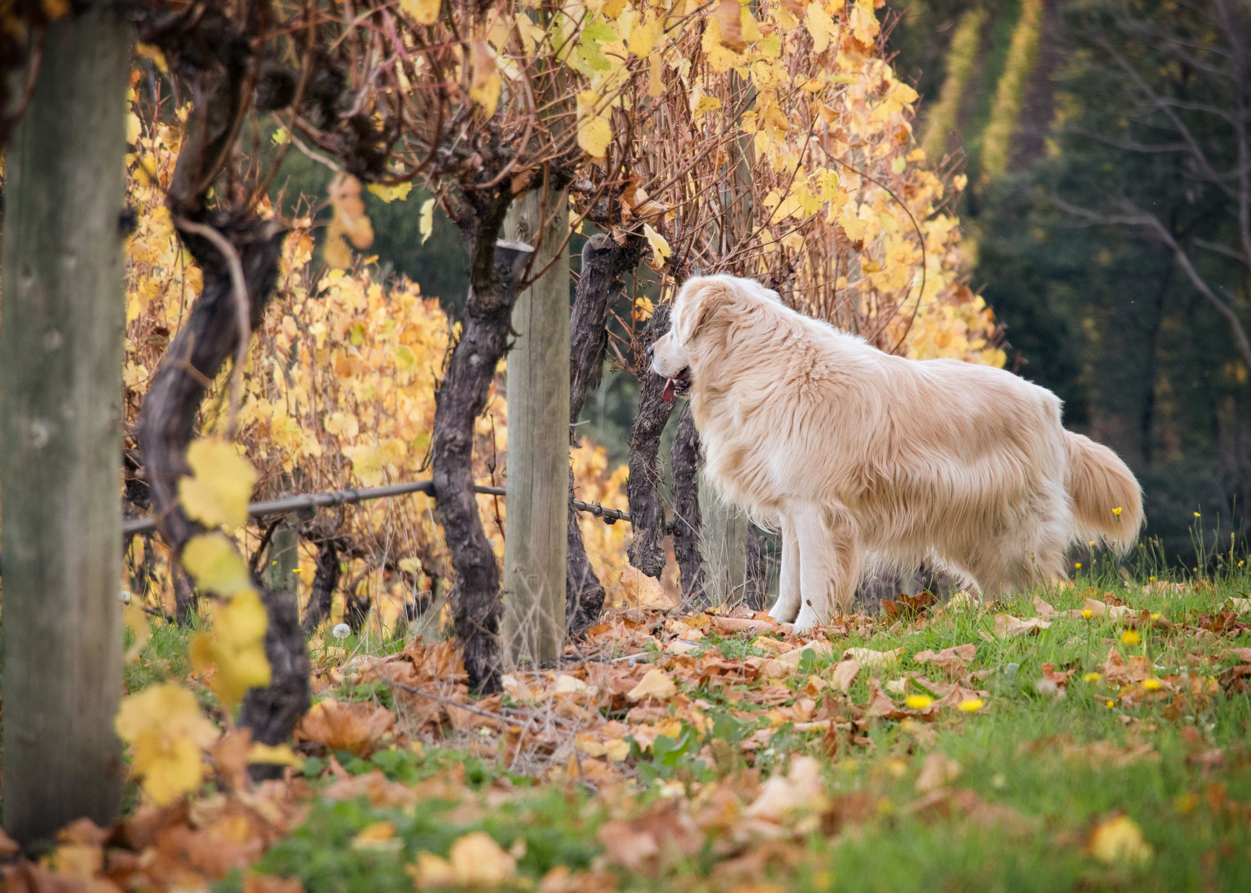 Spud Evm Pet Photography Yarra Valley Melbourne Winery