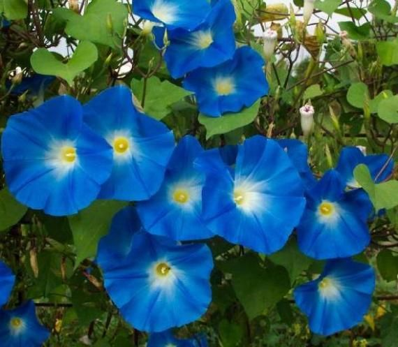 Blue Morning Glory So Pretty And Even Prettier When Planted With A Cardinal Climber Vine Morning Glory Flowers Morning Glory Seeds Blue Morning Glory