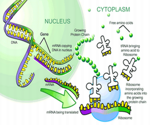What Is Protein synthesis, Transcription and translation