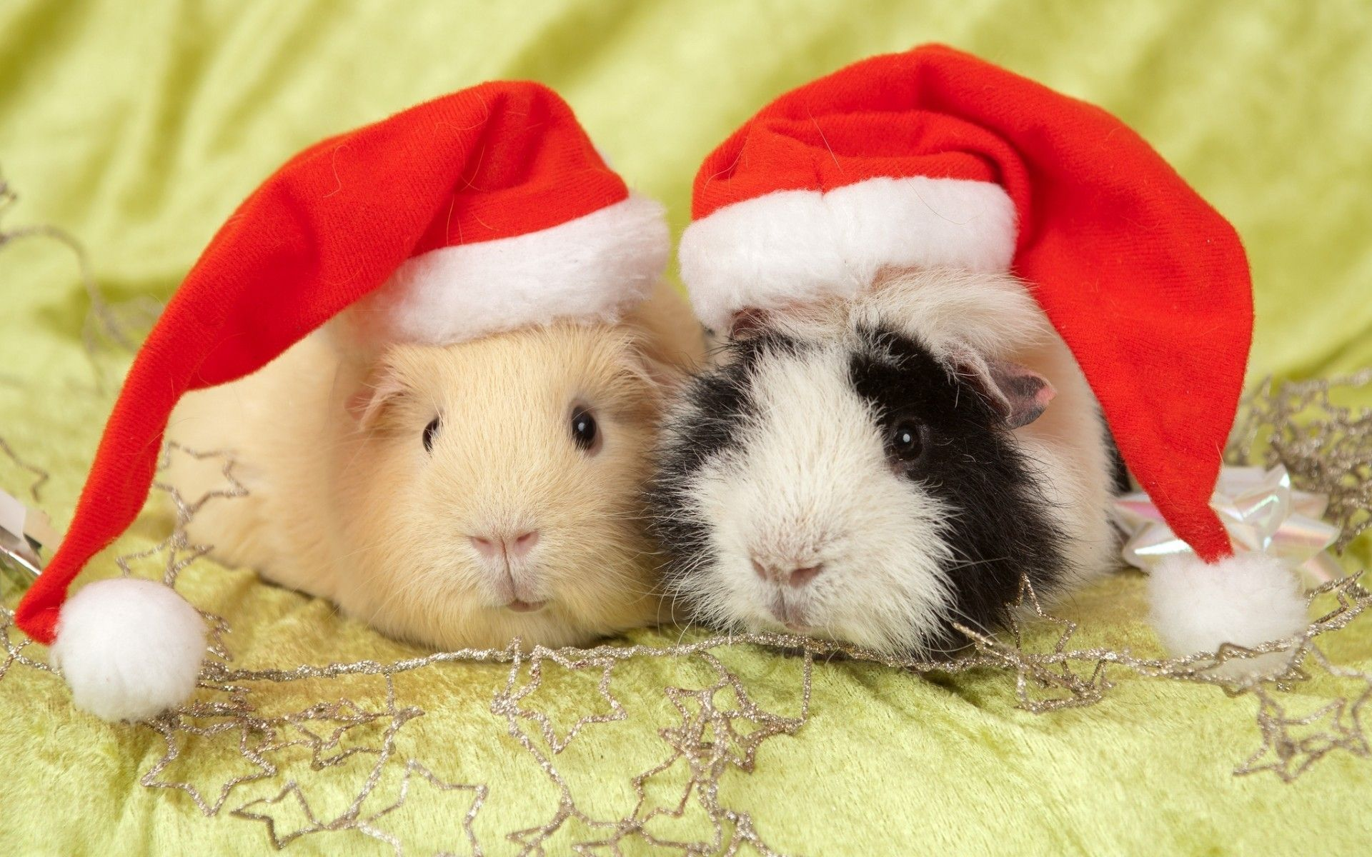 Guinea Pigs - Lessons - Tes Teach