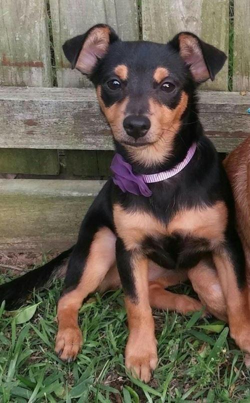 BROOKLYN is an adoptable Chihuahua, Miniature Pinscher Dog