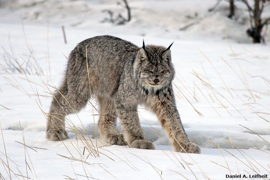 Canada Lynx Canada lynx, Animals beautiful, Lynx