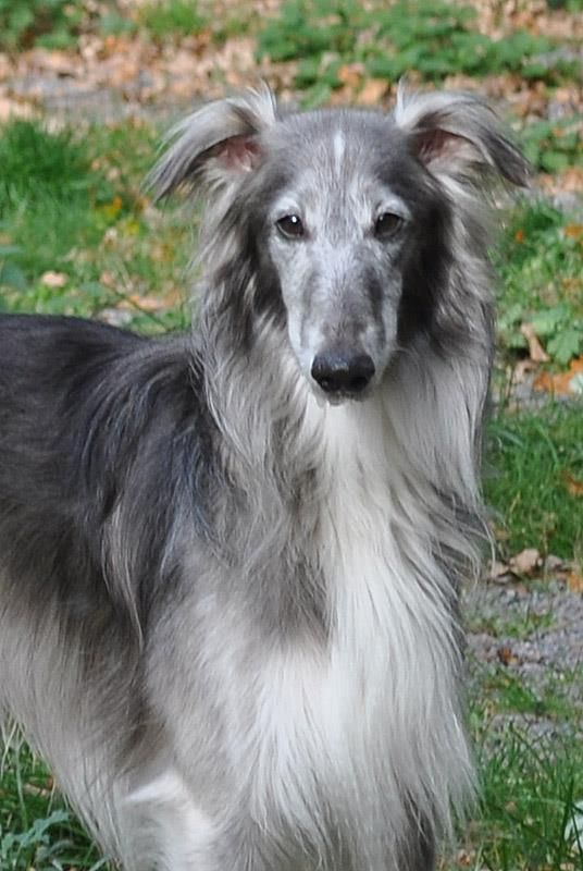 Starcastle Hounds Morning Mist  Blue chinchilla colored Silken Windhound