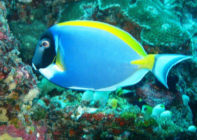 Powder Blue Surgeon Fish Deep Sea Life Fish Underwater Life