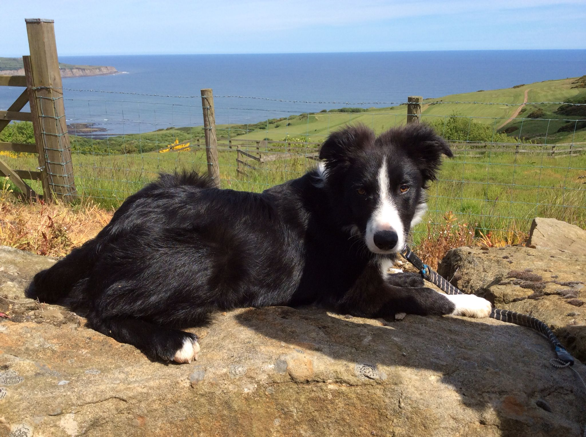 Border Collie North Yorkshire Border Collie Herding Dogs Best