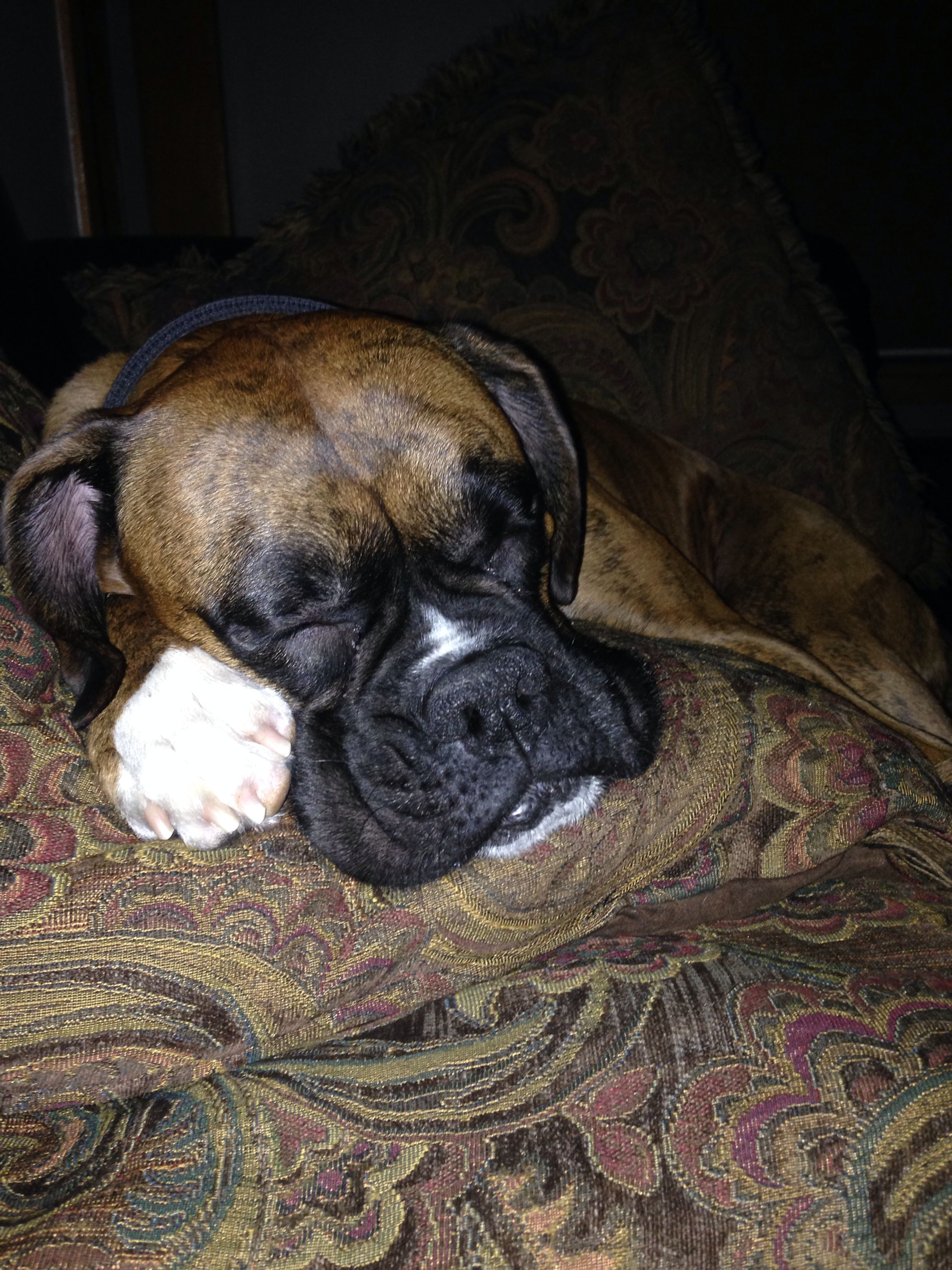 My sweet Boxer, Cleveland Puppies, Boxer, Dogs