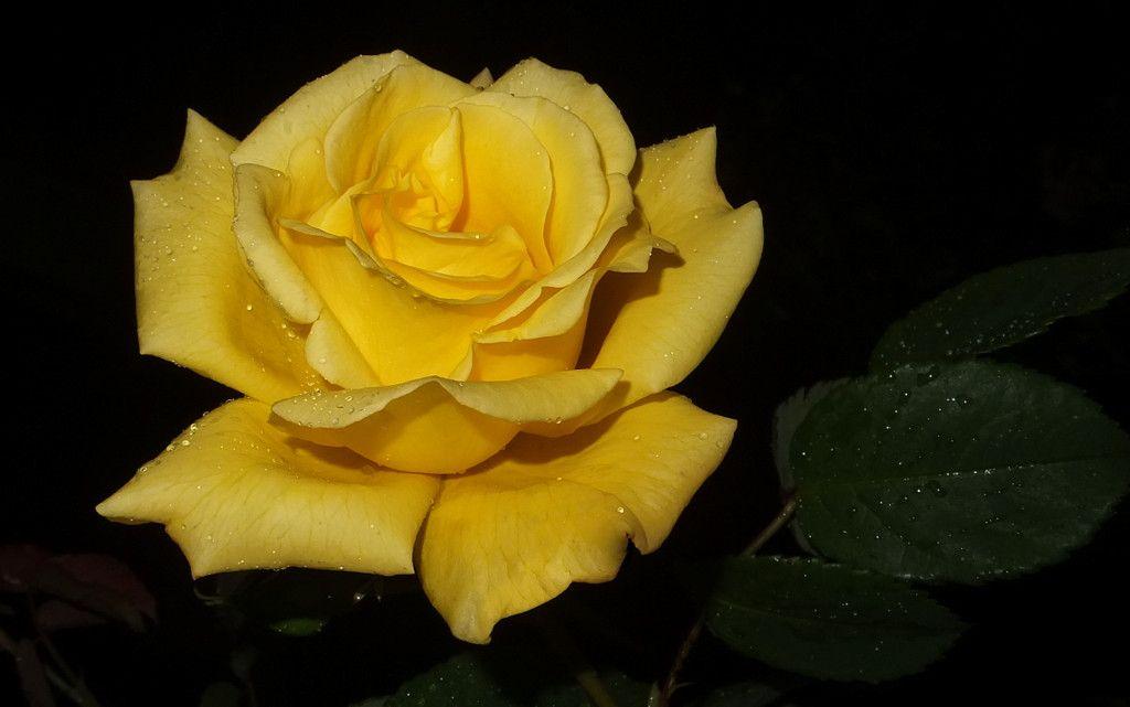 Rosa Amarilla Yellow Rose Jpg 1024 641 Rose Yellow Roses Flowers