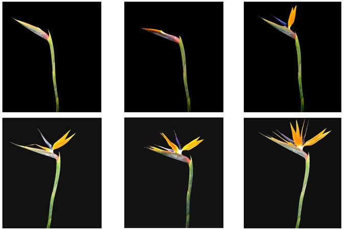 Bird Of Paradise Life Cycle Birds Of Paradise Popular Flowers Proflowers