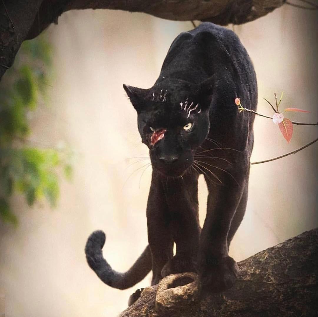 Black Panther Sightings Nagarhole National Park in 2020