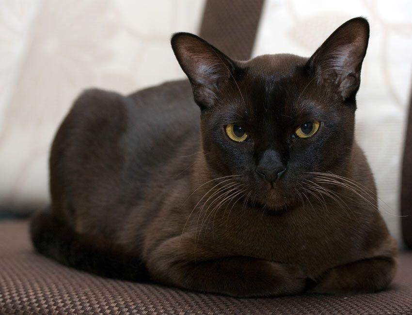 Black Burmese Cat Burmese Cat Cat Breeds Cute Cats