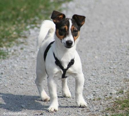 jack russell terrier google search jack russells pinterest russell terrier terrier and dog. Black Bedroom Furniture Sets. Home Design Ideas