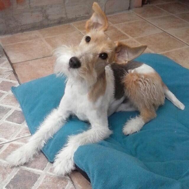 Pin by Yoshida\'s on Wire Fox Terrier | Pinterest | Fox terriers ...