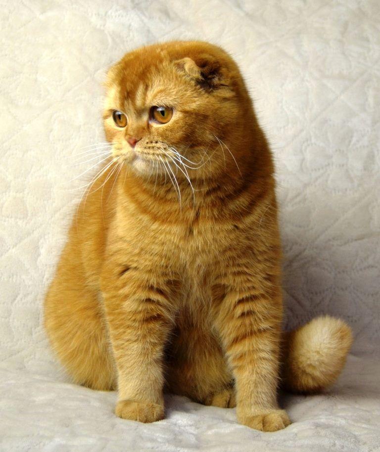 Chats Gros Toutous Cat Scottish Fold Scottish Fold Super Cute Cats