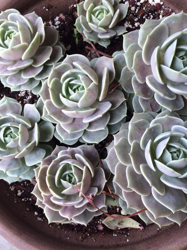 Echeveria Lola by Barb Sanchez