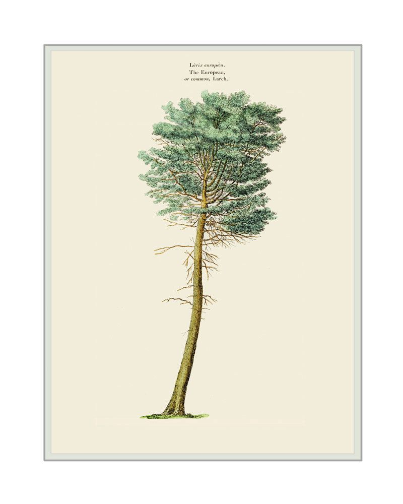 Home decor common larch tree art print watercolored drawing giclee home decor common larch tree art print watercolored drawing giclee botanical fine art print showing arboreal sciox Image collections