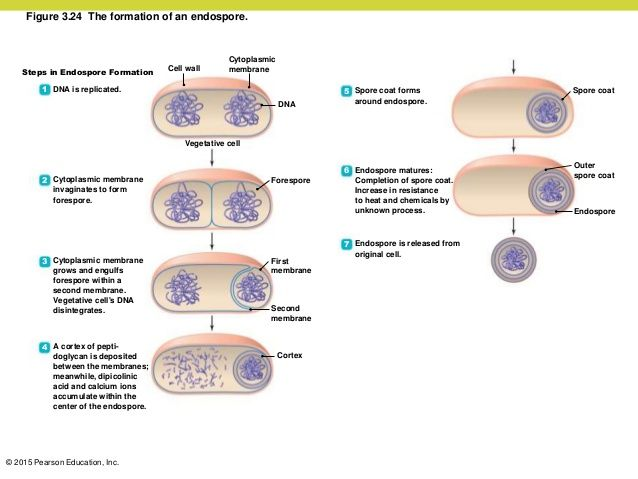 ENDOSPORE FORMATION PDF