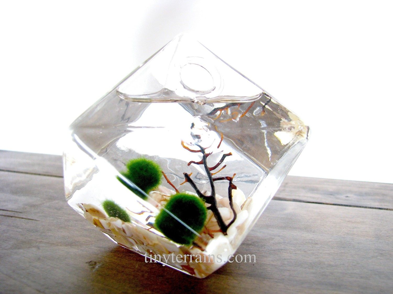 Marimo Moss Ball Ice Cube Aquarium / Terrarium: 15 - plants and ...