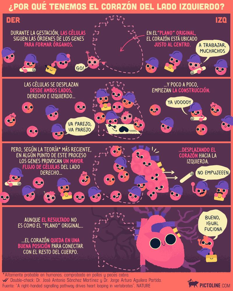 Por qué tenemos el corazón en el lado izquierdo | Infografías ...