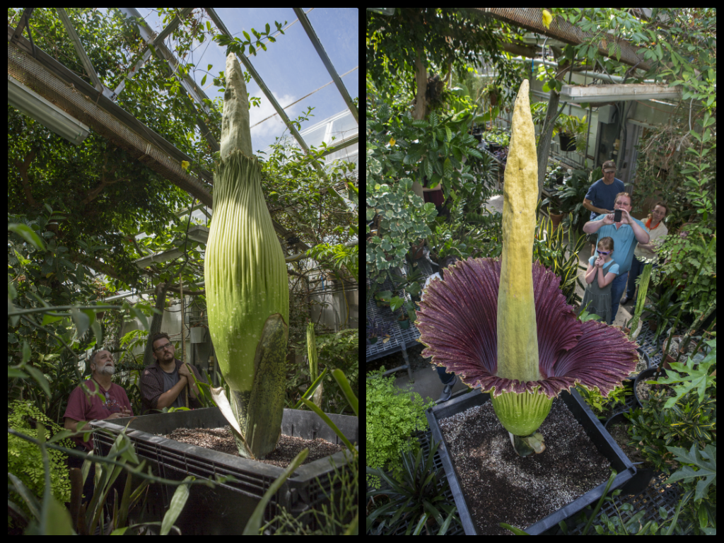 The Famous Corpse Flower Bloomed On June 20 2013 In The Heier Teaching Green House In Science Iii Corpse Flower Bloom Corpse Flower Flowers