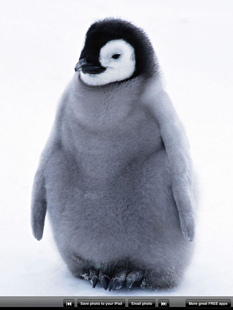 Penguins Penguins Penguin Wallpaper Baby Penguins