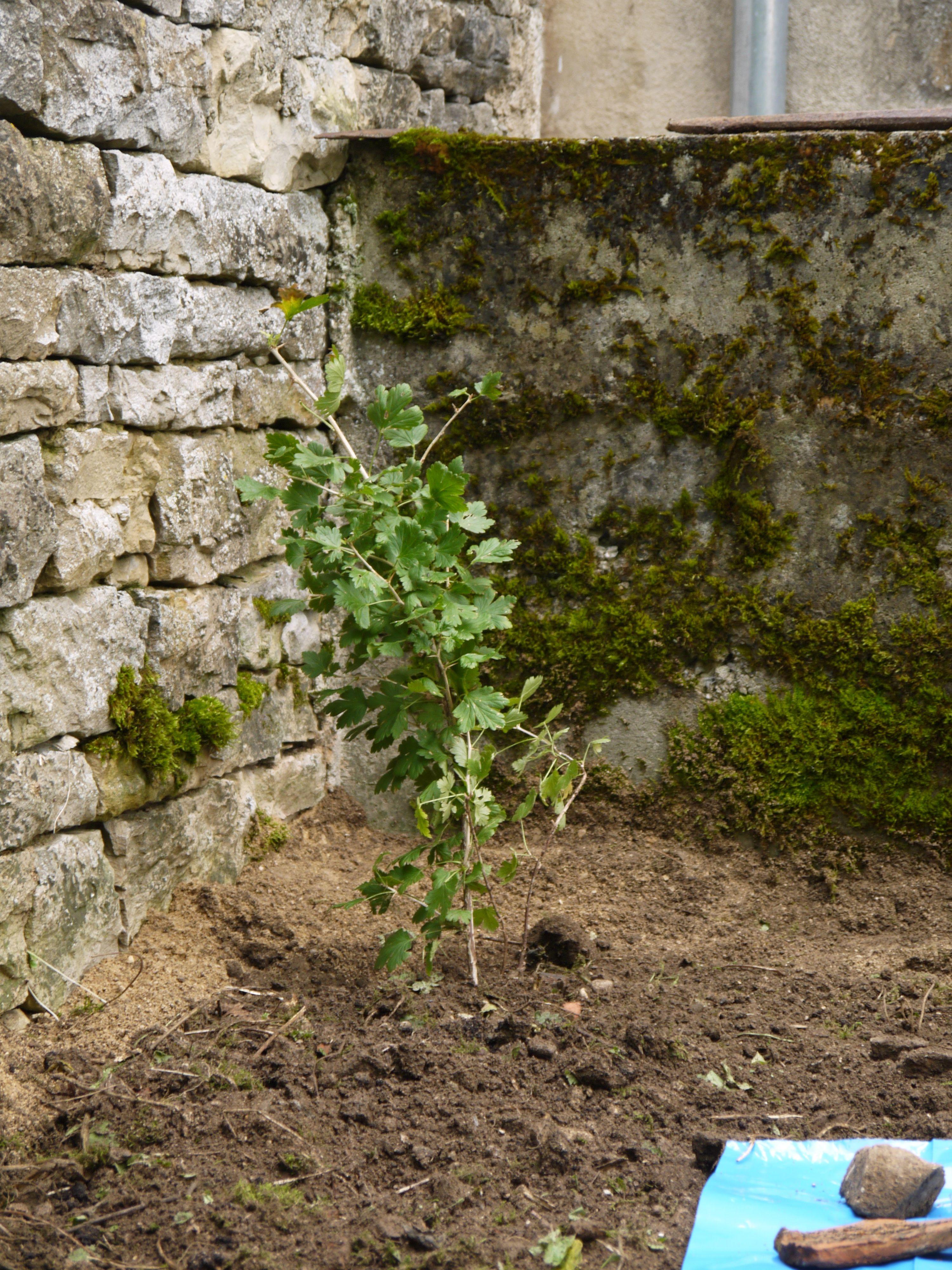 Blackberry tree planted (summer 2013)