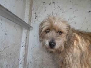 Zoey Is An Adoptable Norfolk Terrier Dog In San Antonio Tx Norfolk Terrier Terrier Dogs Dogs