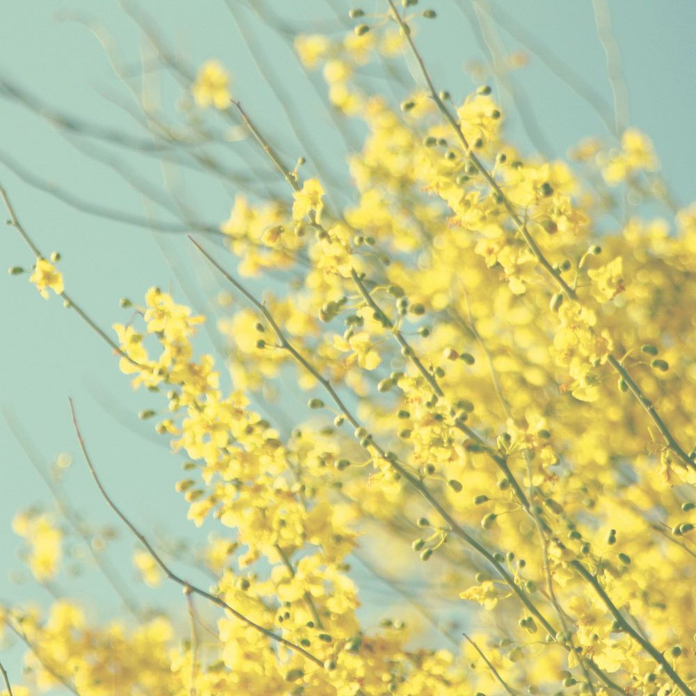Yellow and blue photography yellow flower photo blooming tree yellow and blue photography yellow flower photo blooming tree photograph pastel colors nursery photography cottage chic decor mightylinksfo