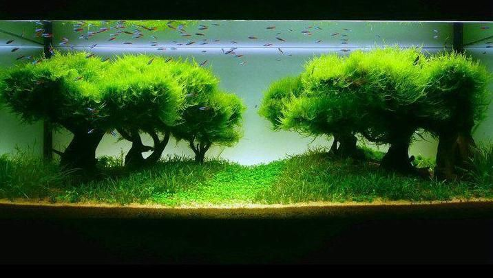 java moss in tank divider - Google Search | Planted ...
