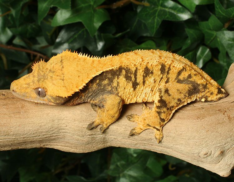 Female Crested Gecko for sale Xi26