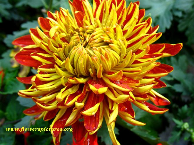 Crysthanthemum looks like a large flower yellow red and yellow crysthanthemum looks like a large flower yellow red and yellow chrysanthemum flower file48 large image 2503x863 mightylinksfo